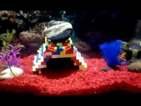 Diy Legos Aquarium Convict Cichlid Cave Youtube