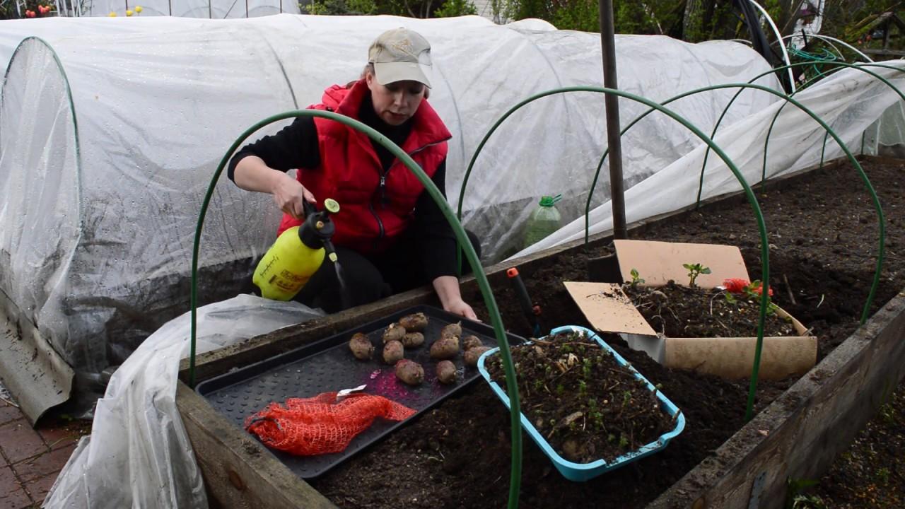 Вредителей не будет! Как избавиться от колорадского жука, проволочника, хруща! Посадка картофеля!