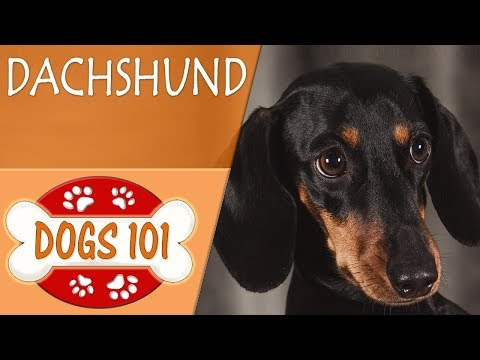 Dogs 101 - DACHSHUND - Top Dog Facts About the DACHSHUND
