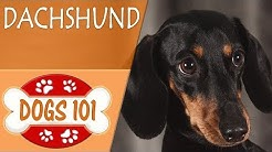 hqdefault - Are Dachshunds Prone To Diabetes