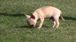 Chihuahua Puppies for Sale 17th September