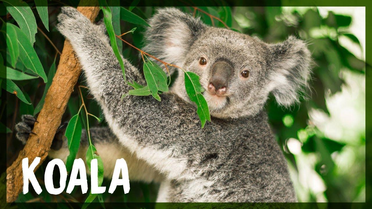 Download KOALA   Mini Documental
