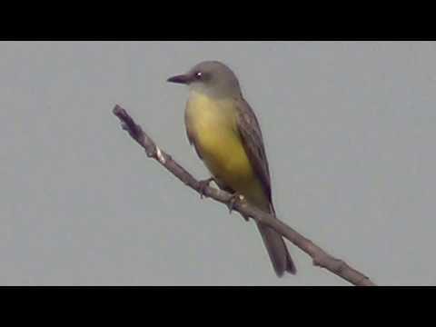 North American Wildlife --- Tropical Kingbird