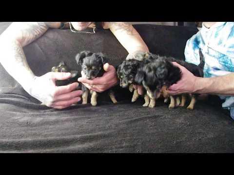 les 5 chiots d'inaya et Yasha , russkiy toy poil long , 6.5 semaines