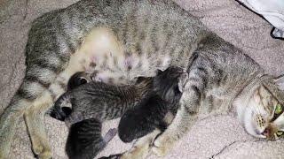 The Mom cat feeding her 3 kittens |Nursing a newborn kittens ||CatsLifePH