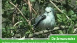 Die Schwanzmeise (Aegithalos caudatus)