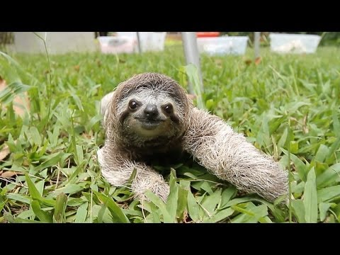 Pet Corner - When a Sloth Chases You