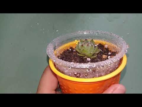Вопрос: Калоцефалус Брауна, что за растение?