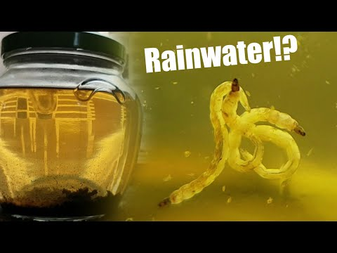 Seeing What Lives In Rainwater By Making A Closed Ecosystem