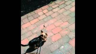 Yorkshire Terrier Walking