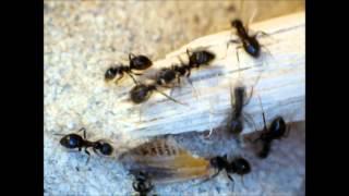 My black garden ant colony (Lasius Niger)