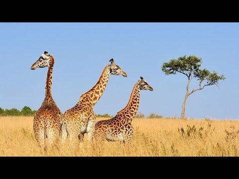 Conservation Chat: Giraffe Conservation Foundation