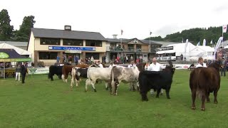 Tarw Ifanc Prydeinig | Junior British Bull