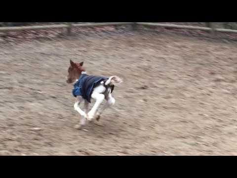 Falabella foal Indya Resto Cazador