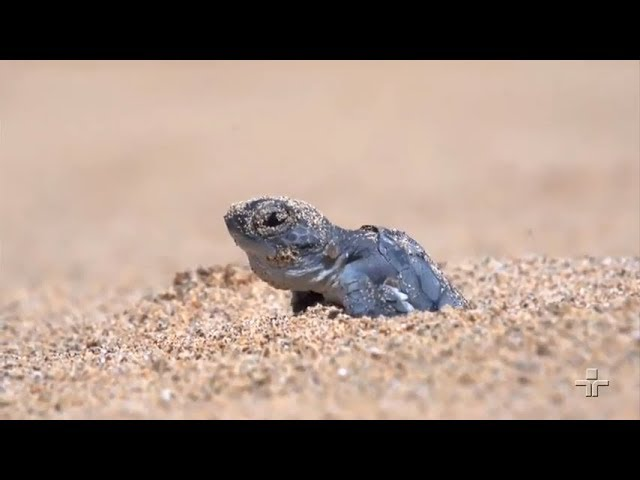 Um pouco sobre o Projeto Tamar que auxilia na proteção de tartarugas marinhas