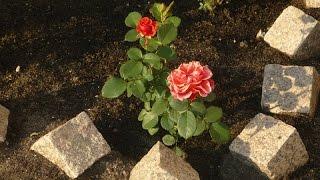 Посадка саженцев роз летом
