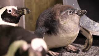 African Penguin Chick Name and Sex Reveal