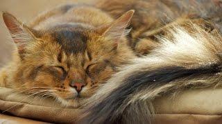 Уход за Сомалийской кошкой, Сомали, Породы кошек