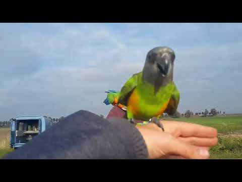 Free Flight Senegal Parrot Jip With The Macaw's