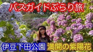 バスガイドぶらり旅 伊豆下田公園 満開の紫陽花