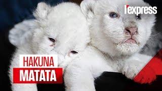 Deux lionceaux blancs naissent en France