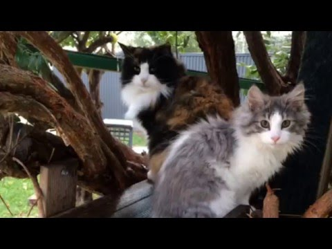 Norwegian Forest Cat - Jade and Pearl playing in their treehouse  *1080HD*