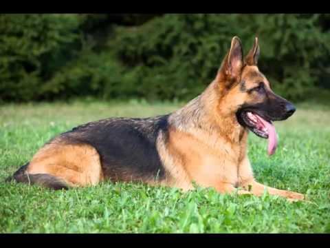 Collcetion Of Dog Breed German Shepherd Pictures