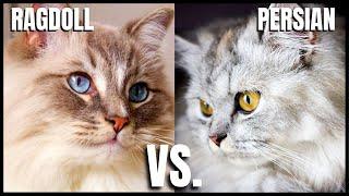 Ragdoll Cat VS. Persian Cat