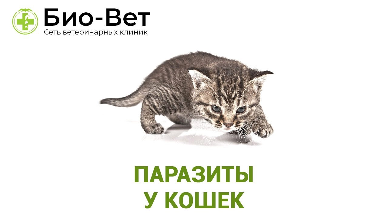 Паразиты у кошек. Ветеринарная клиника Био-Вет. - YouTube