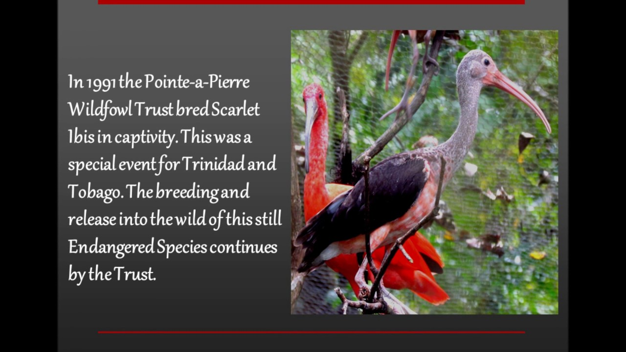 The scarlet ibis youtube the scarlet ibis biocorpaavc