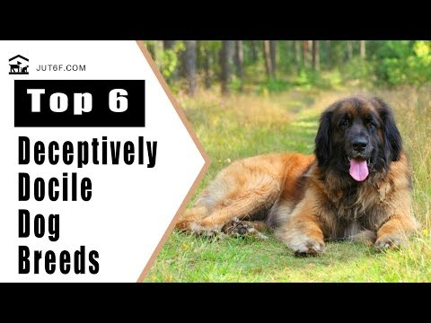 Top 6 Deceptively Docile Dog Breeds