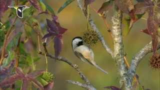 Research update: New chickadee study shows climate change affecting distribution