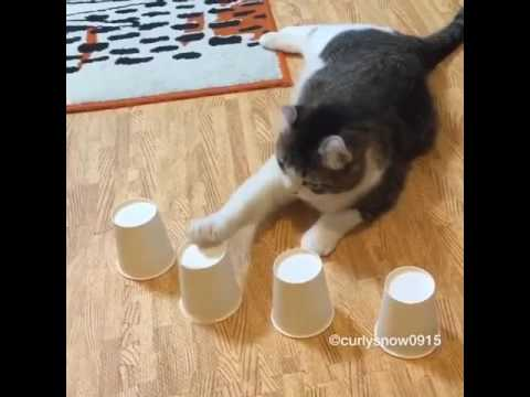 Cat Plays Cup & Ball Magic Trick
