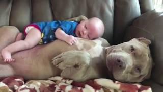 Очаровательный момент, когда американский питбуль Белль с любовью относится к малышу