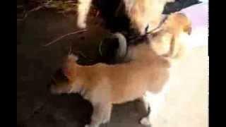 Soft Coated Wheaten Terrier Mix Puppies - www.greenfieldpuppies.com
