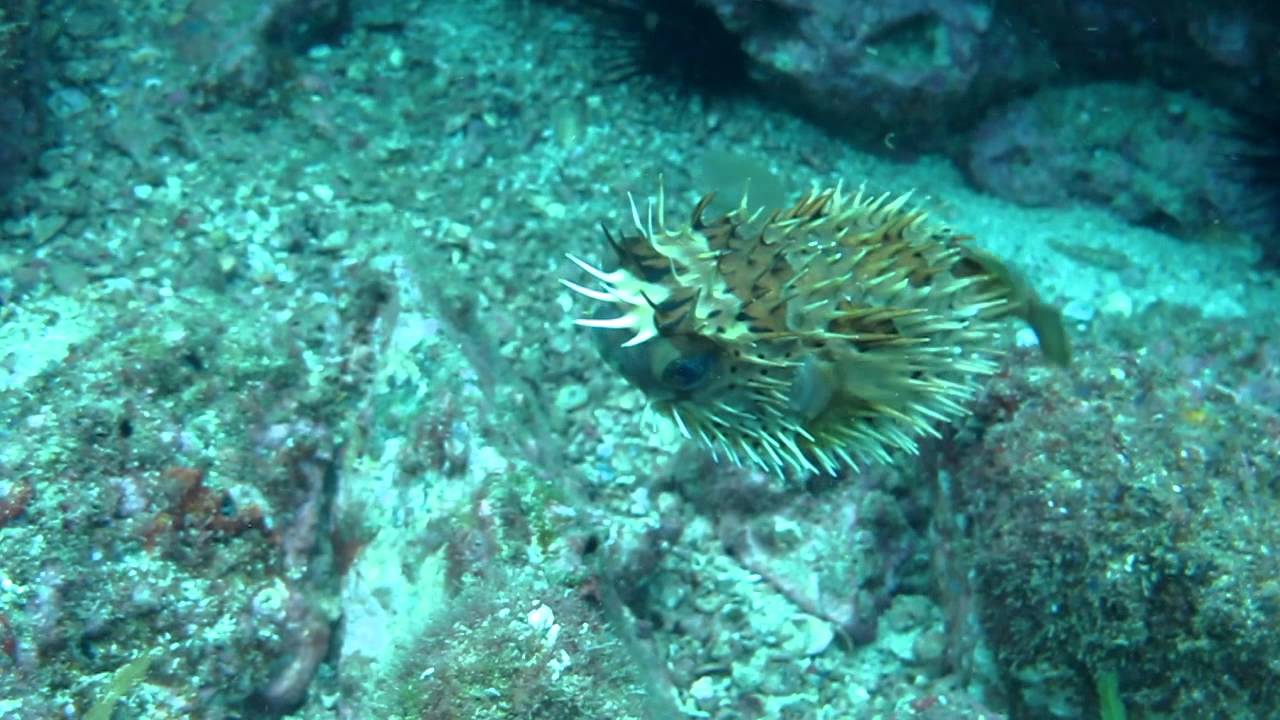 Diving costa rica puffer fish puffing youtube for Puffer fish puffing
