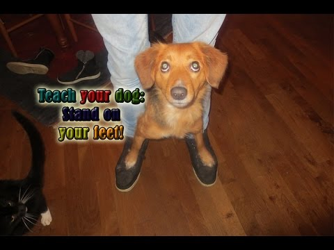 Teach Your Dog to Stand On Your Feet! - Amazing Dog Tricks!! [REUPLOAD]