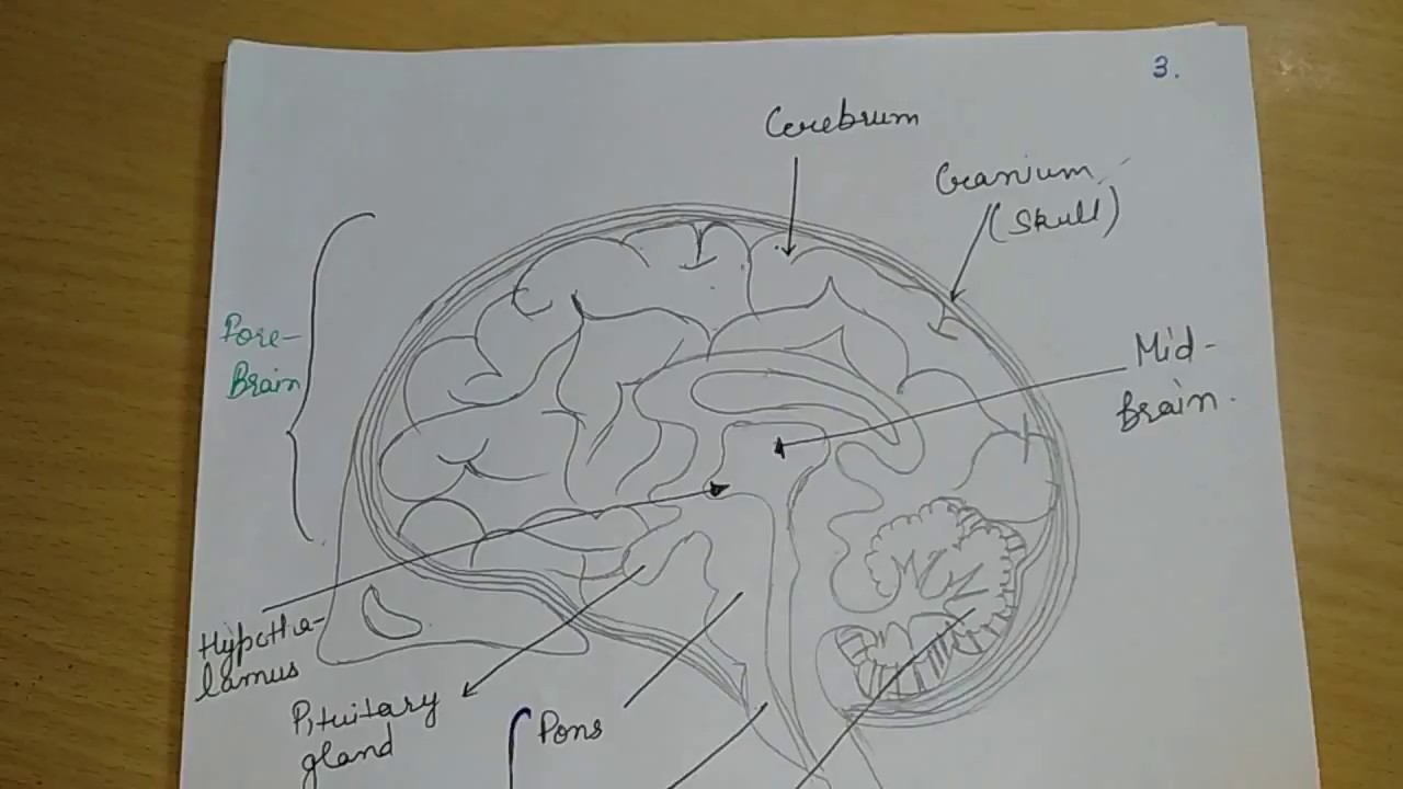 Human Brain & It's Functions||Biology Class 10th||Science ...