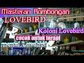 Rombongan Lovebird Koloni Cocok Untuk Masteran Mental Lovebird Mastering(.mp3 .mp4) Mp3 - Mp4 Download