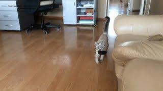 Тайский котёнок Линда, наша выпускница, умеет приносить поноску! Тайские кошки   это чудо! Funny Cat