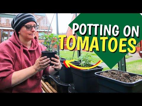 Potting Up Tomato Plants Into The New Quadgrow Self-watering Planter