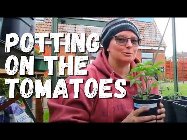 Potting up tomato plants into the new quadgrow self-watering planter