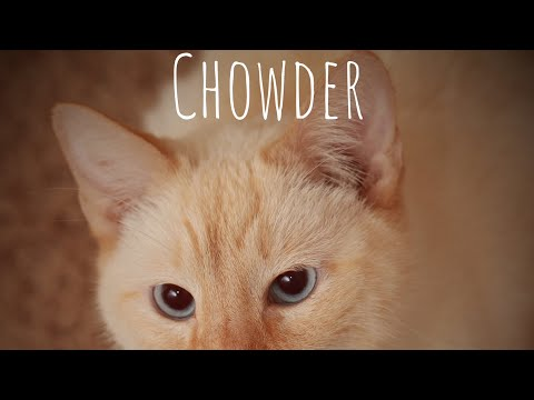 Chowder the Flame Siamese