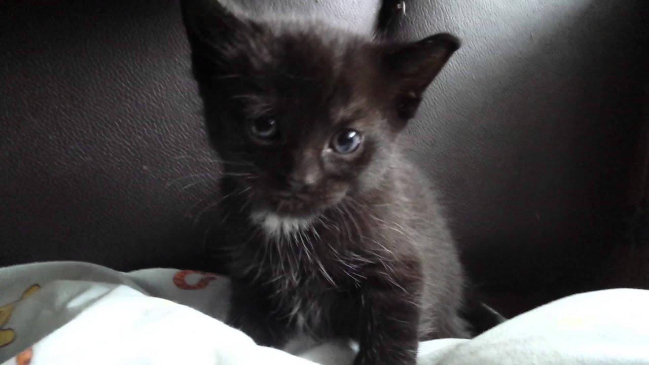 Black Oriental Kittens FOR SALE