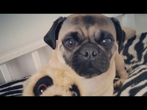Pug Dog Encephalitis(PDE) Spuds Fight