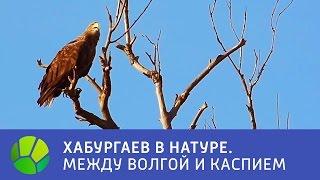 Между Волгой и Каспием  Хабургаев в натуре | Живая Планета