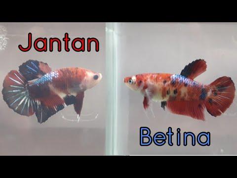 Tips Mudah Membedakan Ikan Cupang Jantan Dan Betina - YouTube