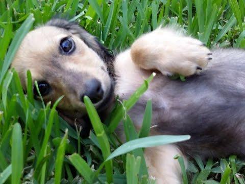 royalworth's-golden-sheba,-an-english-cream-longhaired-miniature-dachshund-female-puppy