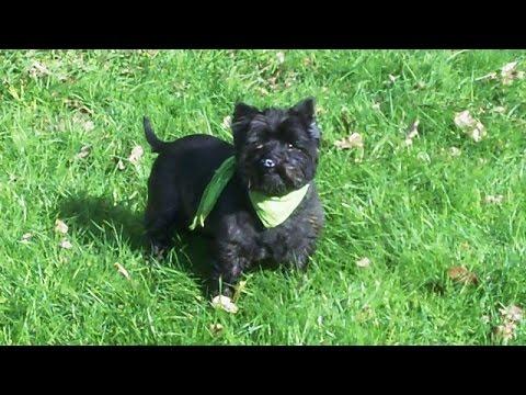 Cairn Terrier Fergus. x