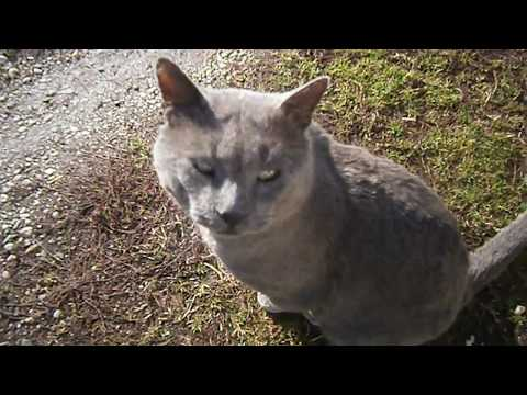 Angry Cat (Russian Blue)